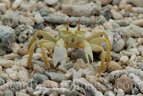 Maldives_crab
